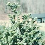 balsam woolly adelgid feeding
