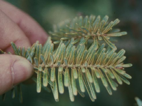 Spruce spider mite damage causes tiny yellow spots