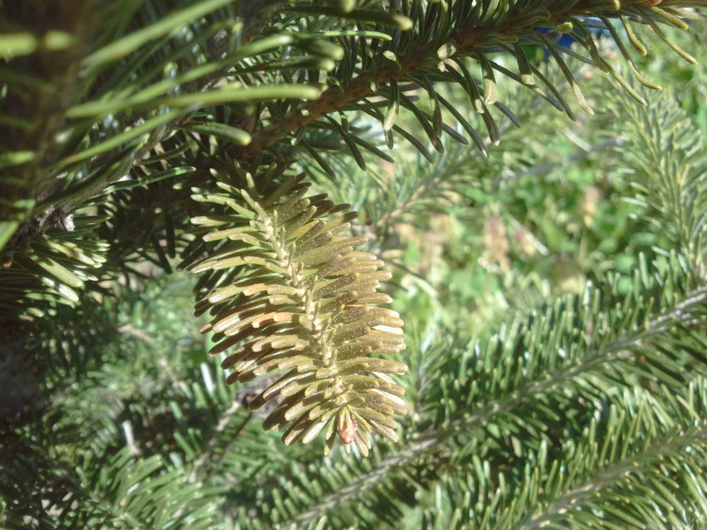 Hemlock rust mites cause bronzing of the foliage which often shed prematurely