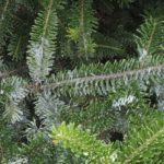 Filaments from male elongate hemlock scale are easily visible as males are developing