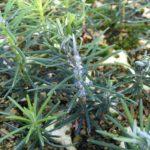 twig aphids in seedlings