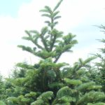 balsam woolly adelgid feeding causes crooked top