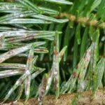 Close-up of active elongate hemlock scale on Fraser fir