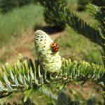 Lady bug feeding on twig aphids