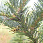 yellow jacket attracted to Cinara aphids