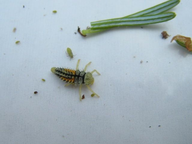 Lady beetle larva on beat plate with twig aphids