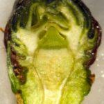 treated rosette bud