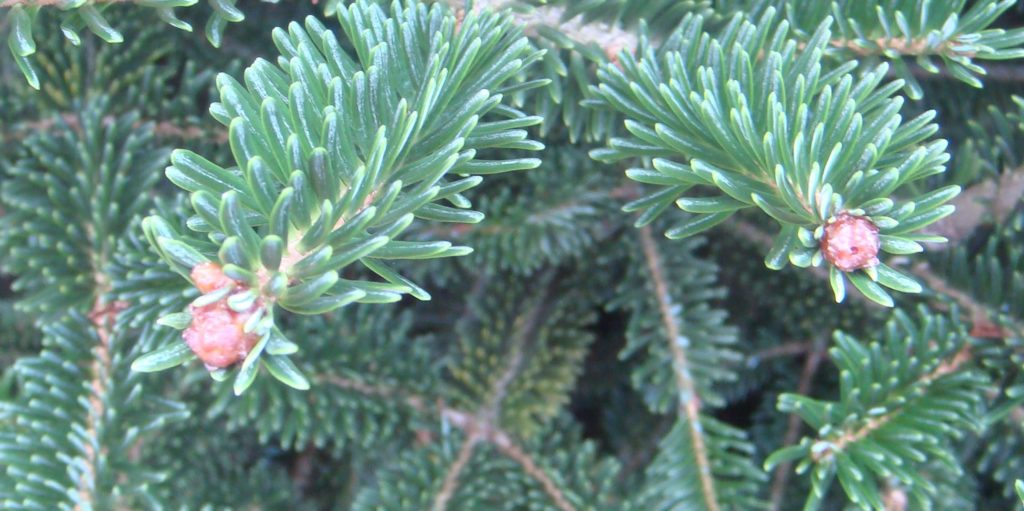 Rosette buds in Fraser fir are larger than normal and don't have a bud that will break and grow
