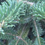 rosette buds