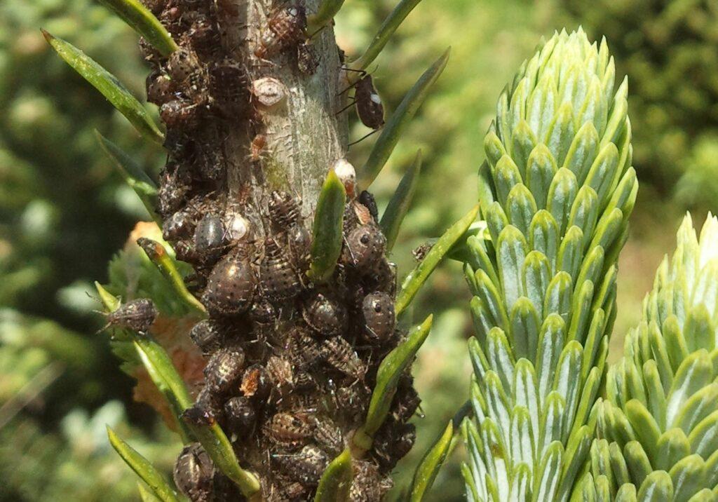 Dozens of Cinara aphids on trunk