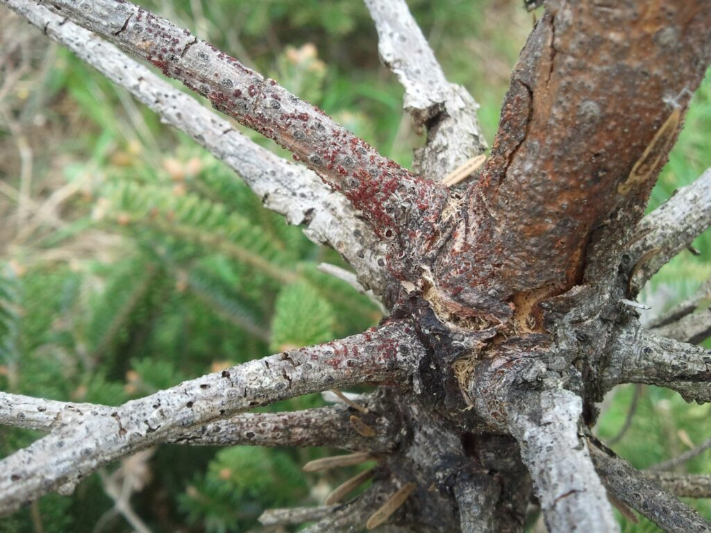Nectria canker has red sporulating structures on dead wood