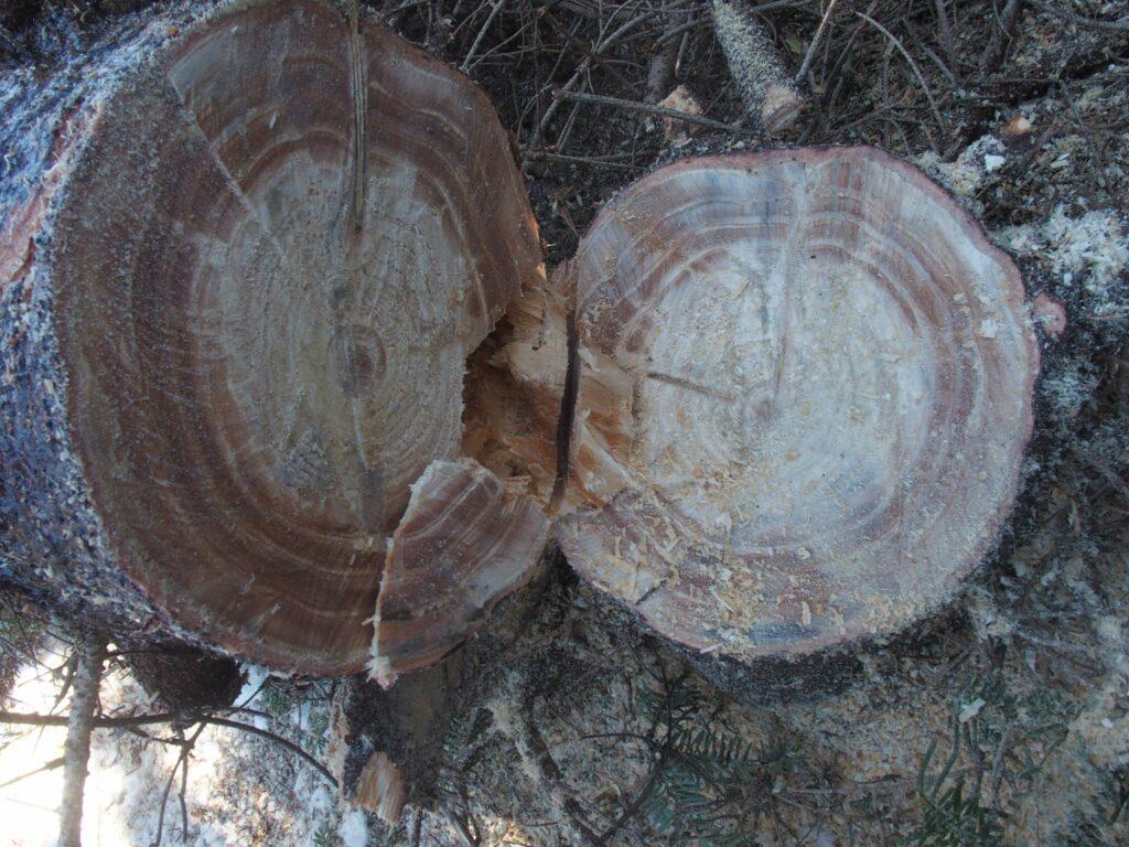 Fraser fir with reaction wood