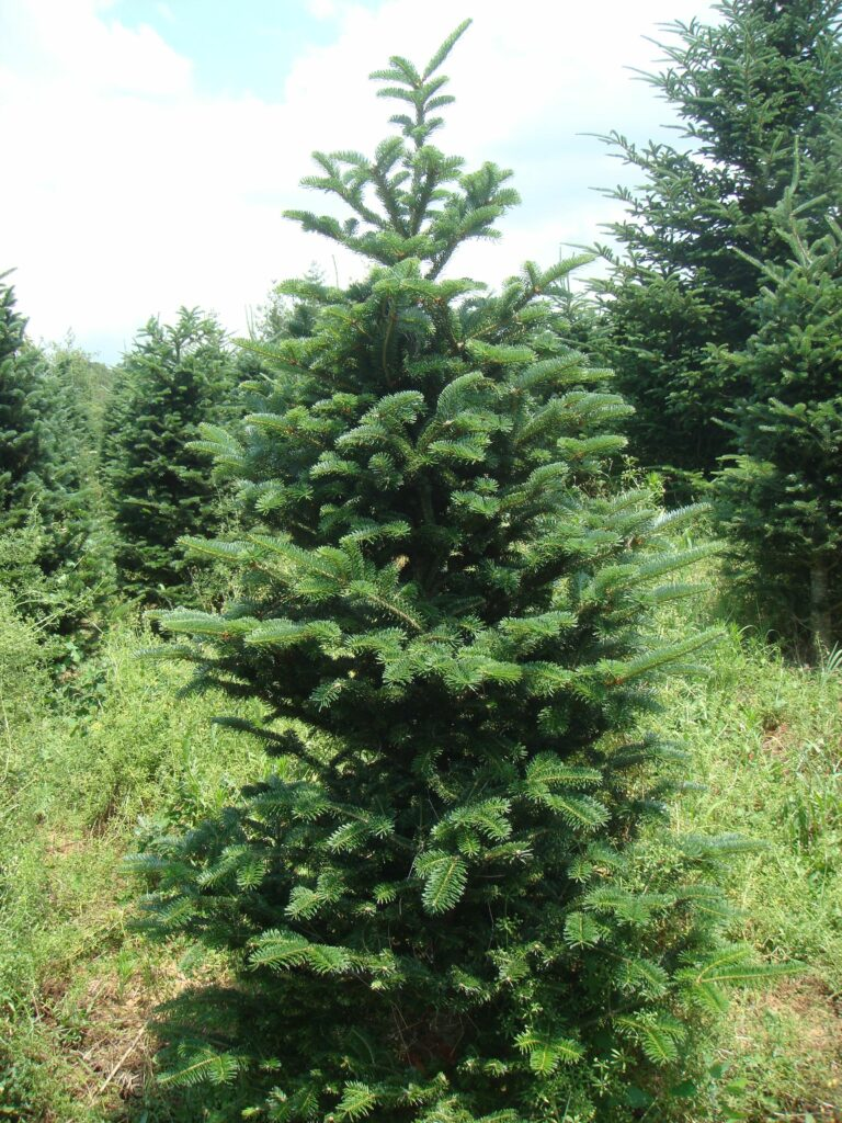 tree with crooked top due to balsam woolly adelgid