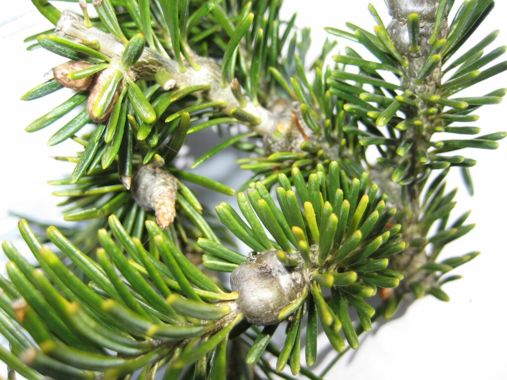 gouting caused by balsam woolly adelgid